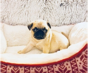 Pug Puppy for Sale in NEW WINDSOR, New York USA