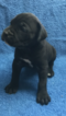 Cane Corso Puppy For Sale in PHOENIX, AZ