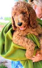 Poodle (Miniature) Puppy For Sale in DAYTON, OH, USA