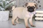 Pug Puppy For Sale in MOUNT VERNON, Ohio,
