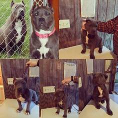 American Pit Bull Terrier Puppy For Sale in AFTON, NY