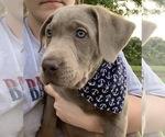 Labrador Retriever Puppy For Sale in NIANGUA, MO, USA