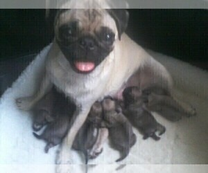 Mother of the Pug puppies born on 08/24/2019