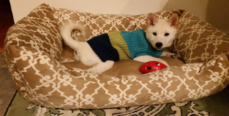 Shiba Inu Puppy For Sale in WOODBRIDGE, VA