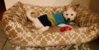 Shiba Inu Puppy For Sale in WOODBRIDGE, VA
