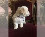 Small Photo #6 Bichon Frise Puppy For Sale in CHICAGO, IL, USA