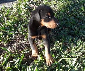 Doberman Pinscher Puppy for sale in AVENTURA, FL, USA