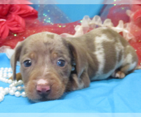 View Ad: Craigslist Dachshund Litter of Puppies for Sale near Oklahoma USA