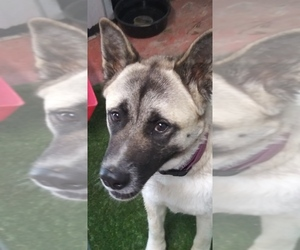 Akita Puppy for sale in ROLLA, MO, USA