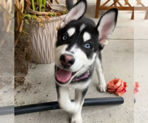 Alaskan Husky Puppy for sale in AUSTIN, TX, USA