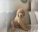Small #2 Goldendoodle Mix