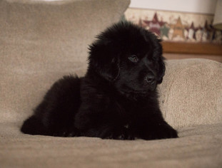 Newfoundland Puppy For Sale in TERRE HAUTE, IN