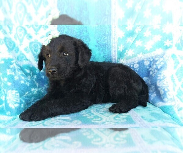 Medium Photo #5 Labradoodle Puppy For Sale in EDEN, PA, USA