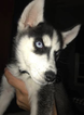 Siberian Husky Puppy For Sale in FREEHOLD, NJ,
