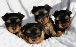 Yorkshire Terrier Dog For Adoption in WINDER, GA, USA