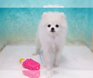 Pomeranian Puppy for sale in LAS VEGAS, NV, USA