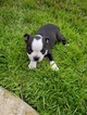 Boston Terrier Puppy For Sale in PALM COAST, FL, USA