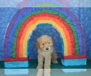 Goldendoodle-Poodle (Miniature) Mix Puppy for Sale in WINTER GARDEN, Florida USA