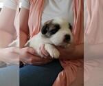 Puppy 5 Newfoundland-Saint Bernard Mix