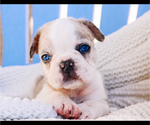 Small Photo #10 French Bulldog Puppy For Sale in HESPERIA, CA, USA