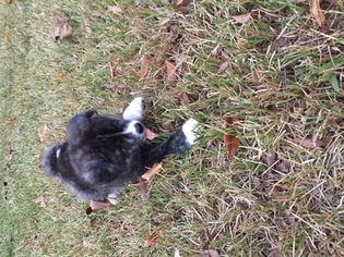 Akita Puppy For Sale in PEARL, MS