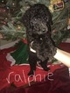 Small Photo #3 Poodle (Standard) Puppy For Sale in TRYON, NC, USA