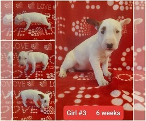 Bull Terrier Puppy for sale in BLOOMFIELD, MO, USA