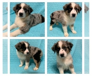 Australian Shepherd Puppy for Sale in WEST PLAINS, Missouri USA