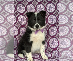 Border Collie-Unknown Mix Puppy for sale in QUARRYVILLE, PA, USA