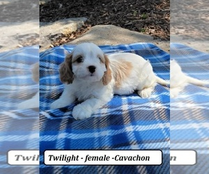 Cavachon Puppy for sale in CLARKRANGE, TN, USA
