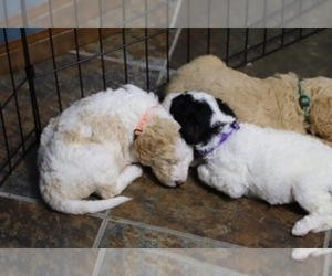 Goldendoodle Puppy for Sale in ALBION, Indiana USA
