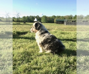 Australian Shepherd Dog for Adoption in AUSTIN, Arkansas USA