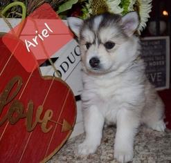 View Ad: Pomsky Puppy for Sale near Minnesota, MANKATO, USA  ADN-110612