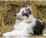 Small #1 Shetland Sheepdog