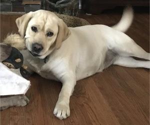 Mother of the Labrador Retriever puppies born on 08/08/2019