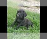 Small #4 Labrador Retriever-Majestic Tree Hound Mix
