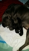 Cane Corso Puppy For Sale in GAMBRILLS, MD