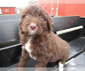 Aussiedoodle Puppy for sale in CHICAGO, IL, USA