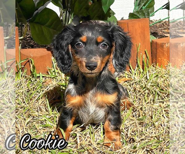View Ad: Dachshund Puppy for Sale near Sweden