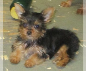 Yorkshire Terrier Dog for Adoption in CARROLLTON, Georgia USA
