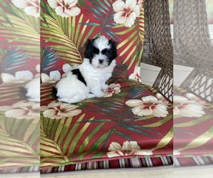 Shih Tzu Puppy for sale in BECKLEY, WV, USA