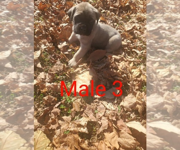 Full screen Photo #1 Mastiff Puppy For Sale in WESTPORT, IN, USA