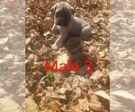 Small Photo #1 Mastiff Puppy For Sale in WESTPORT, IN, USA