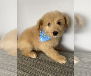 Anatolian Shepherd-Poodle (Standard) Mix Puppy for Sale in MOUNT CLEMENS, Michigan USA