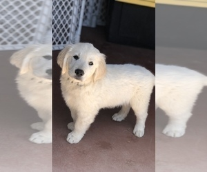 English Cream Golden Retriever Puppy for sale in THOUSAND OAKS, CA, USA