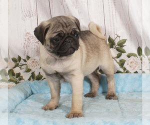 Pug Dog for Adoption in PENNS CREEK, Pennsylvania USA