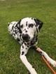 Dalmatian Puppy For Sale in YORK, SC, USA