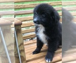 Small Photo #7 Labrador Retriever-Pomeranian Mix Puppy For Sale in SPENCER, TN, USA