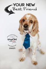 Owen - Cocker Spaniel (medium coat) Dog For Adoption
