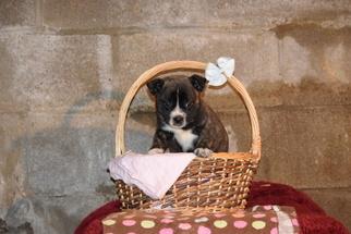 Boston Terrier-Norwegian Elkhound Mix Puppy For Sale in FREDERICKSBURG, OH, USA